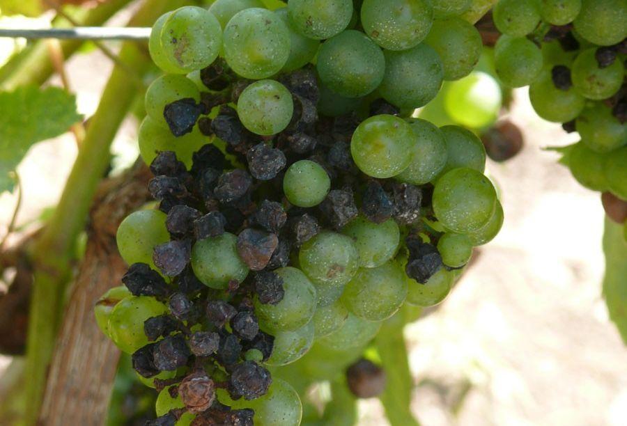 szőlő lehetőségek szakemberek számára